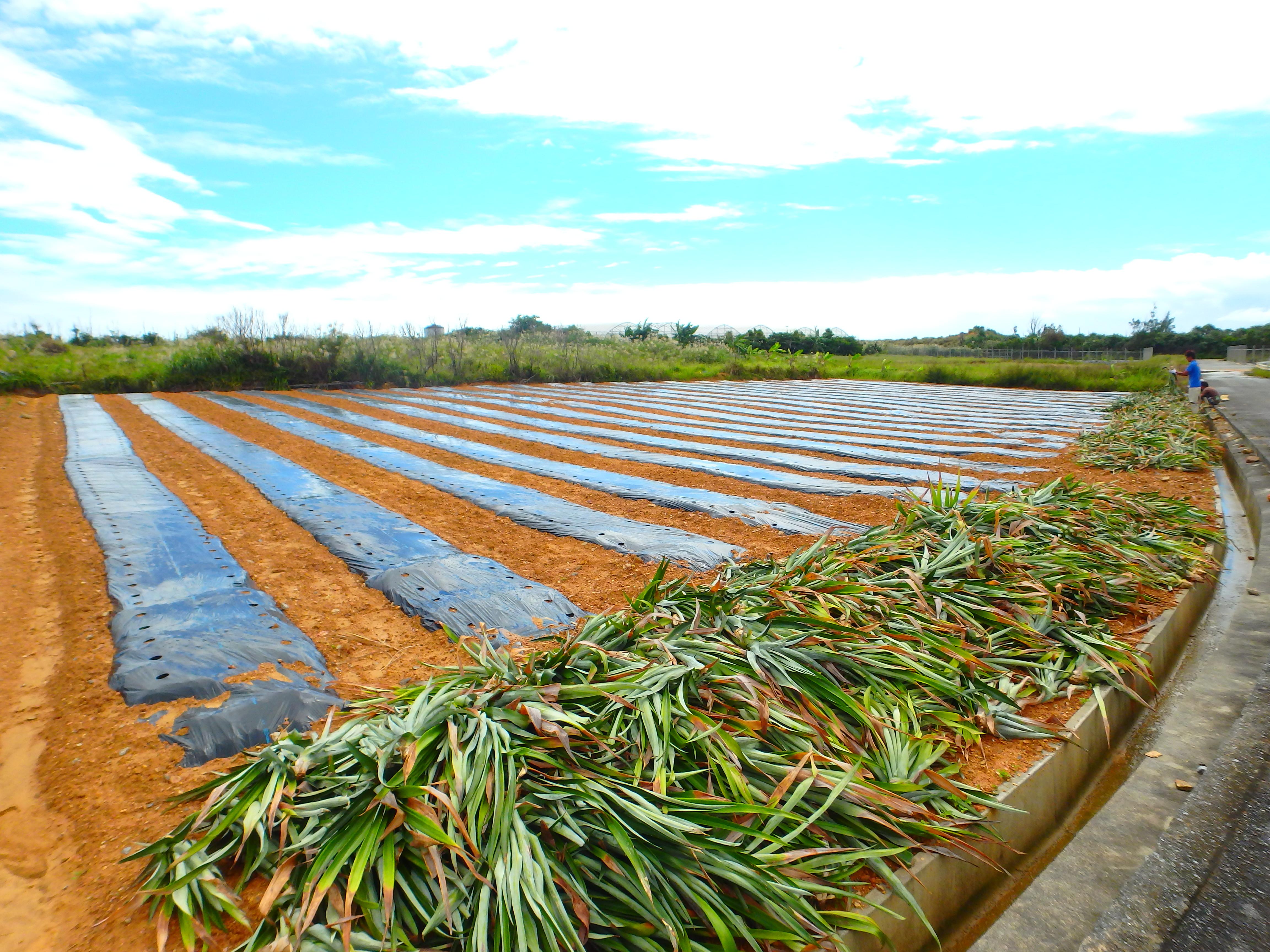 パイン収穫7