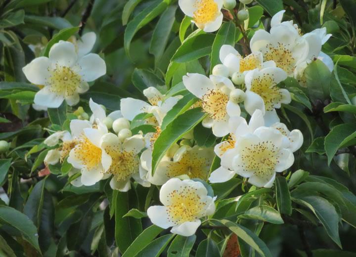 白く輝く梅雨の花